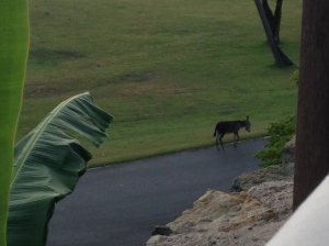 Wild donkeys freely roam St. John